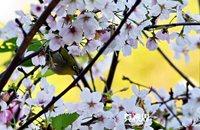 Dongguan's Cherry Blossom Hotspots